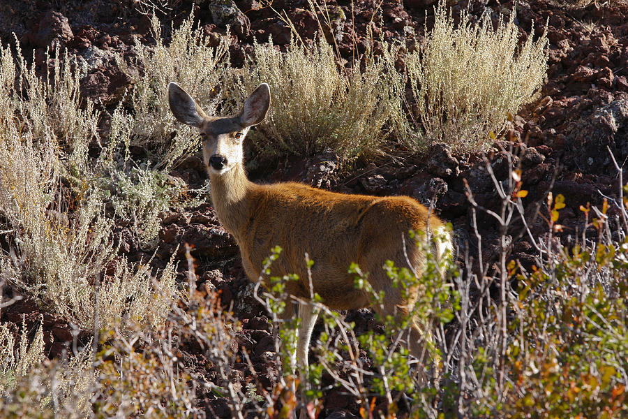 Capulon Doe Photograph  - Capulon Doe Fine Art Print