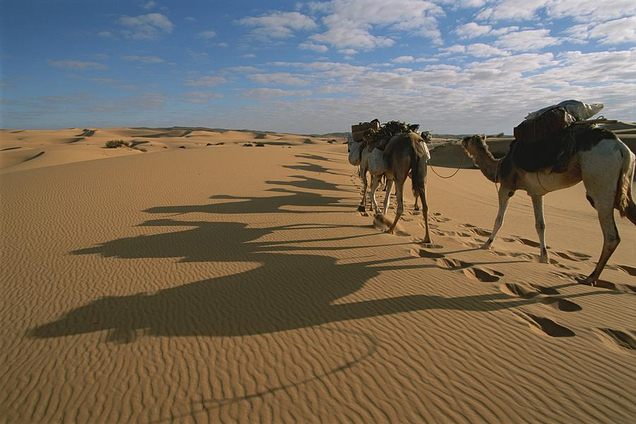 Simple Camels In Desert Stock Photos Royalty Free Camels In Desert Images