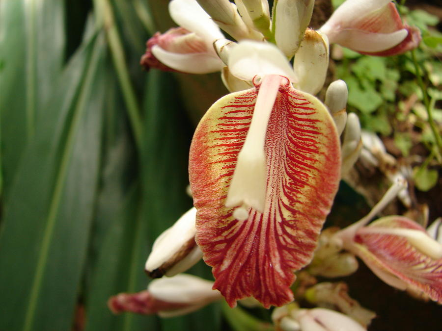 Cardamom Flower Photograph