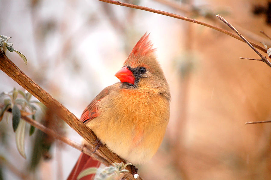 Cardinal Bird Female Photograph  - Cardinal Bird Female Fine Art Print