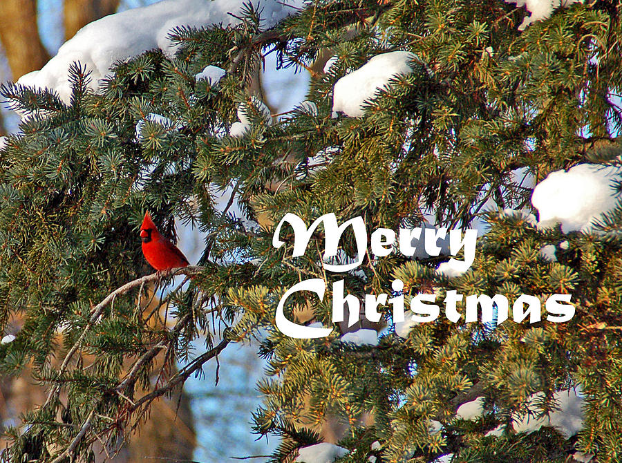Cardinal Christmas Card Photograph  - Cardinal Christmas Card Fine Art Print