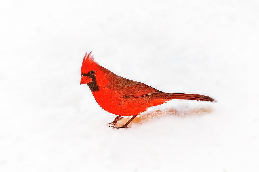 Cardinal Curiosity Photograph
