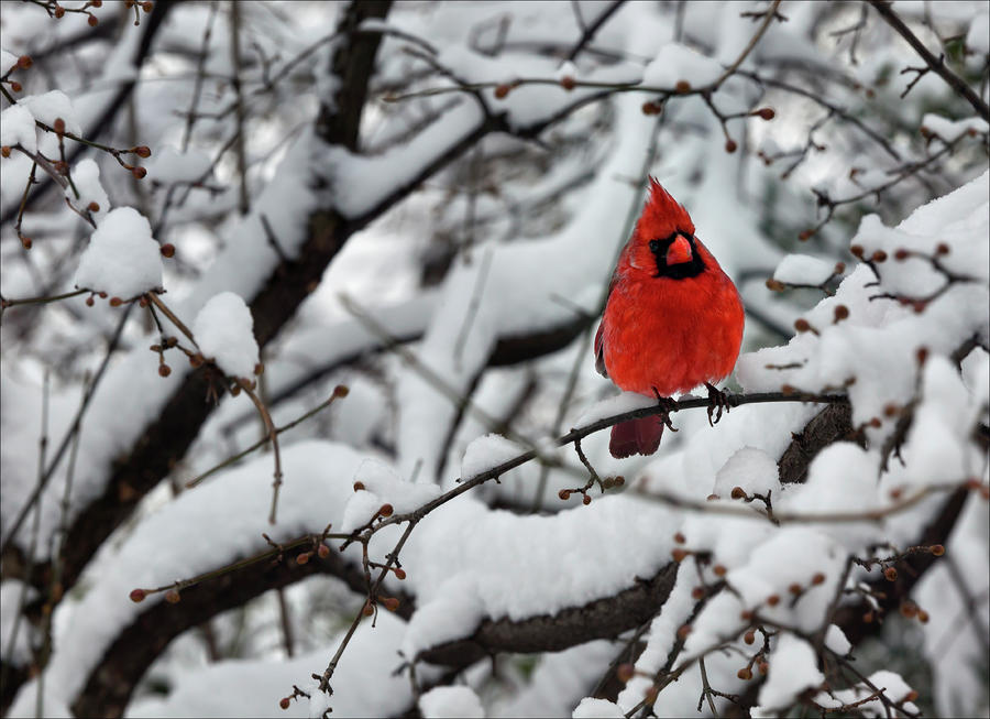 Cardinal in the snow 2 by robert ullmann - Pictures of cardinals in snow ...
