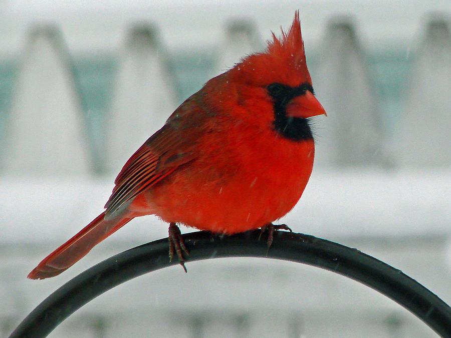 Winter cardinal clipart