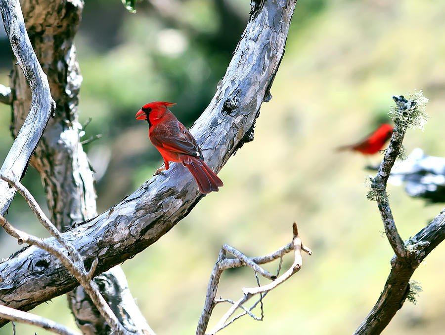 Cardinals In Kauai Photograph