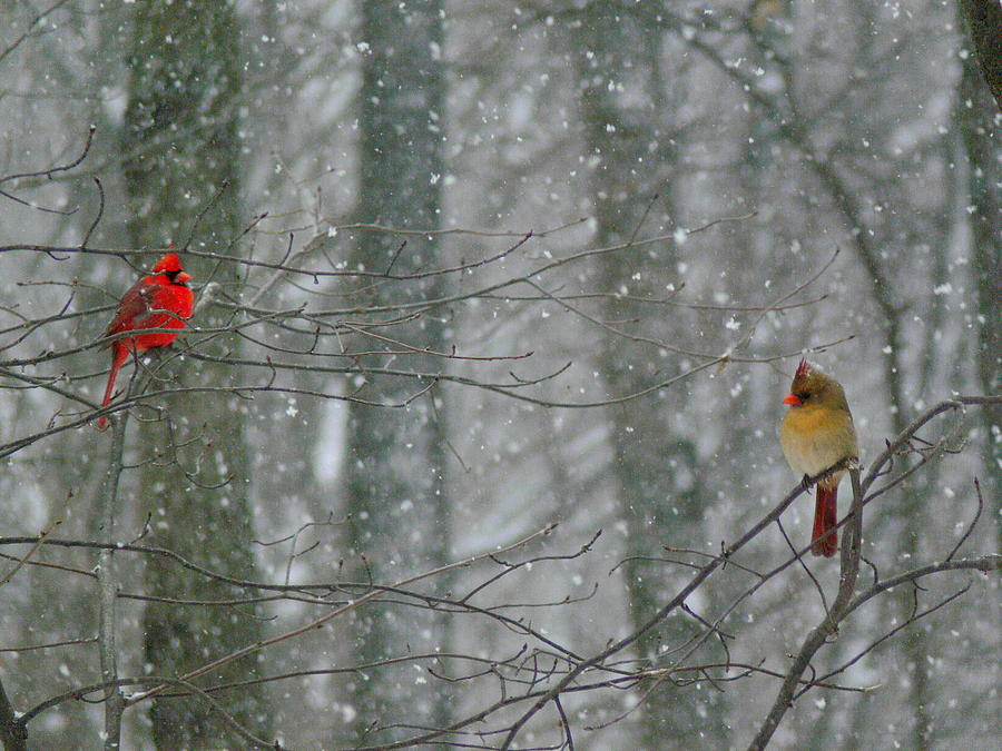 Cardinals In Snow Photograph
