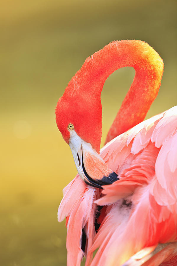 Caribbean Flamingo Phoenicopterus Rube Photograph