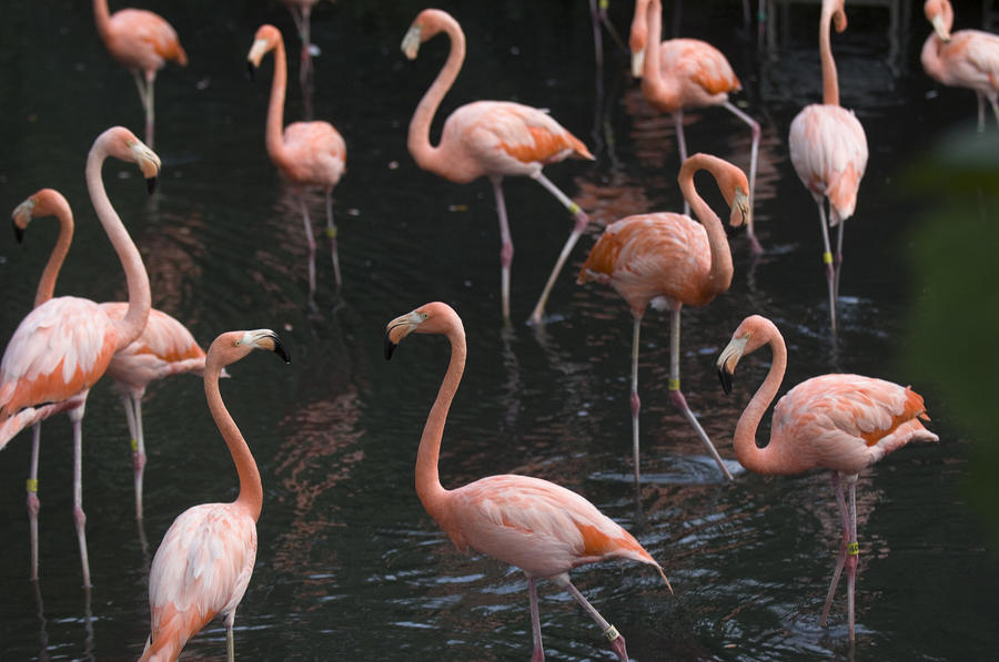Caribbean Flamingoes At The Sedgwick Photograph  - Caribbean Flamingoes At The Sedgwick Fine Art Print