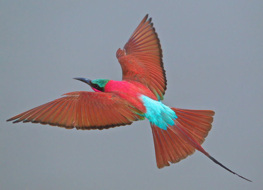 Carmine Bee-eater In Flight Photograph  - Carmine Bee-eater In Flight Fine Art Print