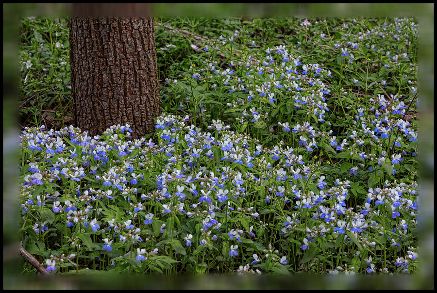 Carpet of blue eyed mary by shari jardina for Jardina