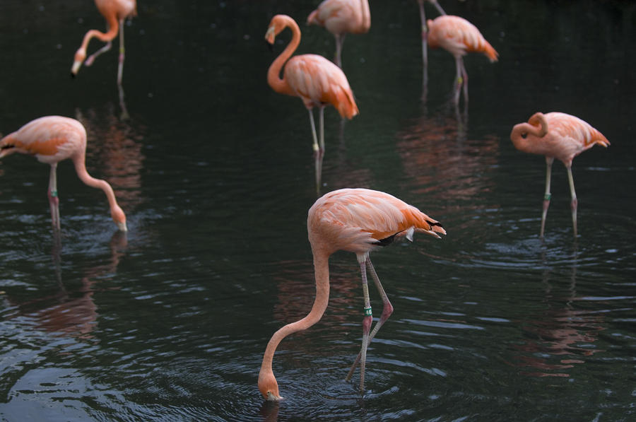 Carribean Flamingoes At The Sedgwick Photograph