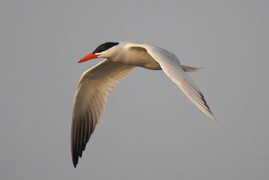 Caspian Tern In Flight Photograph