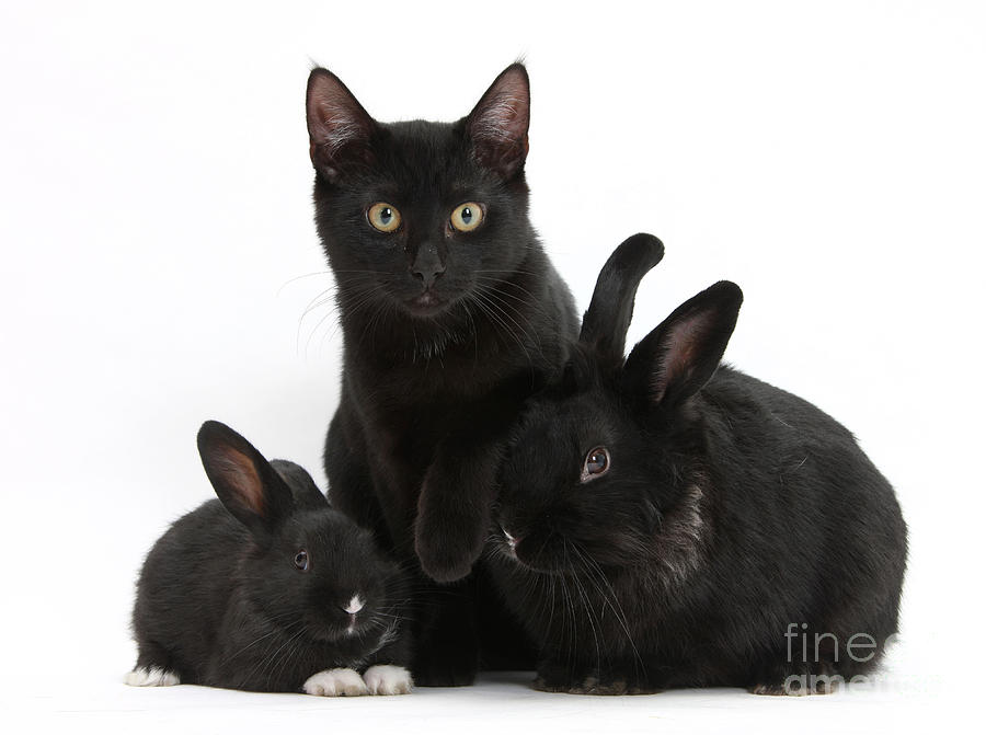 Cat And Rabbits Photograph