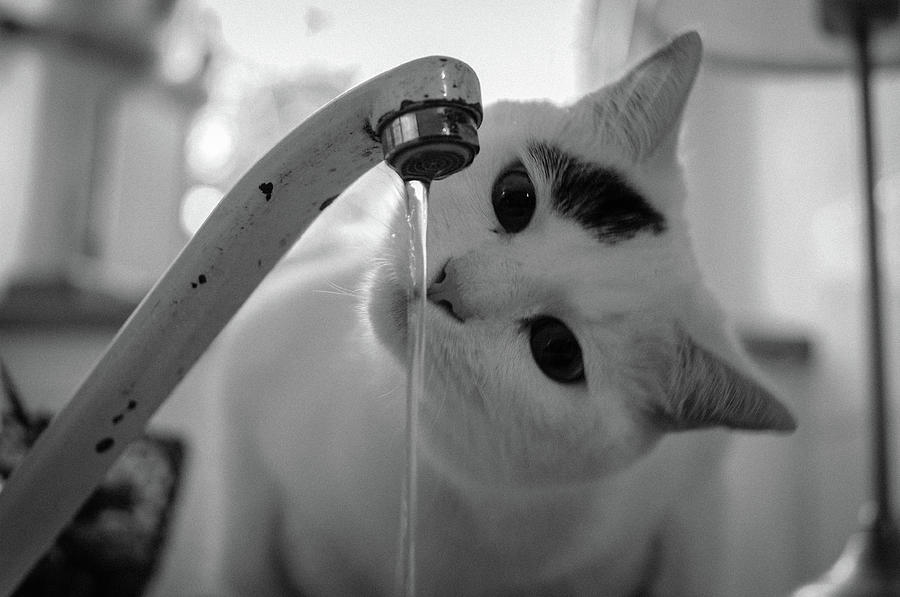 Cat Drinking Water From Faucet Photograph  - Cat Drinking Water From Faucet Fine Art Print