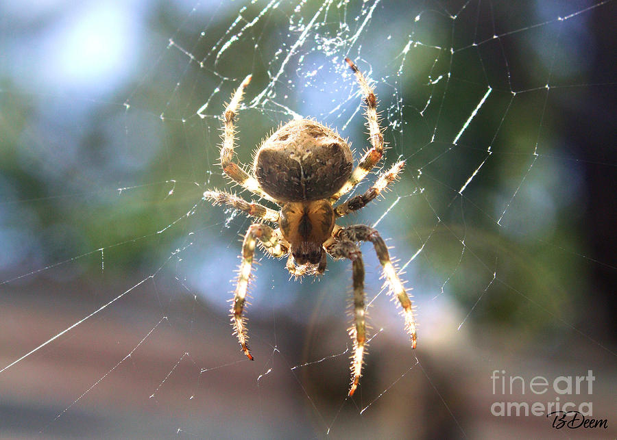 Cat Faced Orb Weaver  Photograph