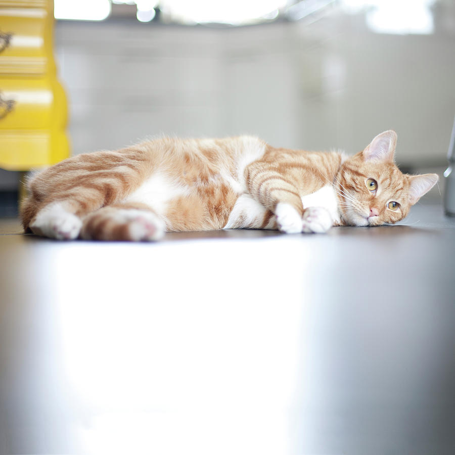 Cat Lying On Floor Photograph  - Cat Lying On Floor Fine Art Print