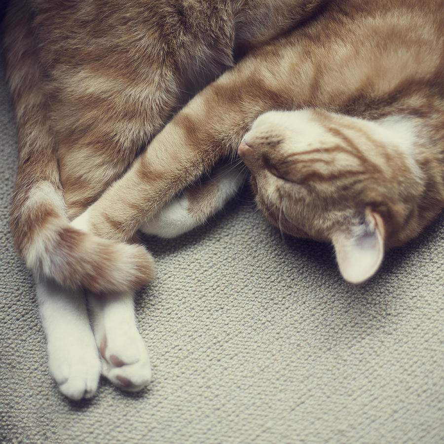 Cat Nap Photograph  - Cat Nap Fine Art Print