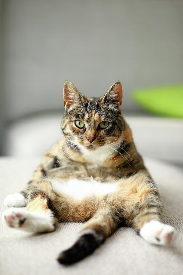 Cat Sitting Upright In Amusing Pose, On Couch Photograph  - Cat Sitting Upright In Amusing Pose, On Couch Fine Art Print