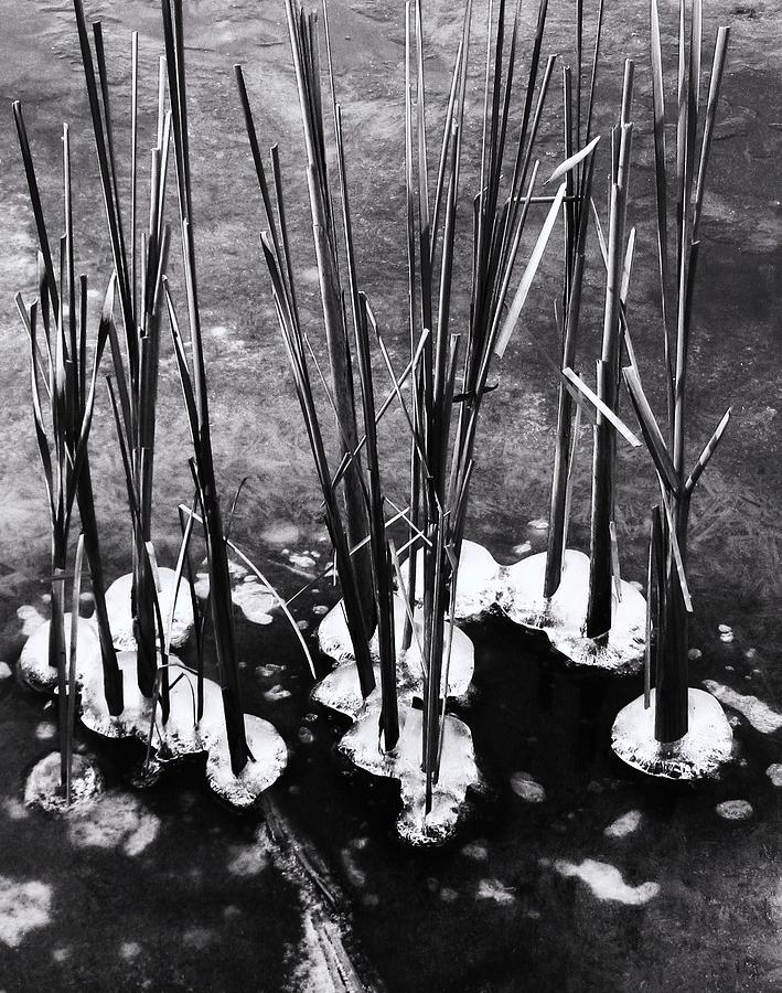 Cat-tails In Ice Photograph