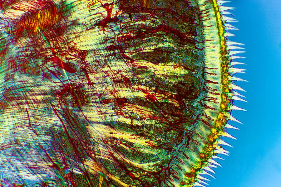 Tissue Photograph - Cat Tongue Tissue, Light Micrograph by Dr Keith Wheeler
