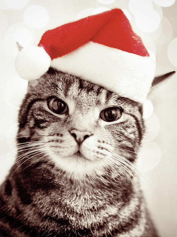 Cat Wearing Christmas Hat Photograph