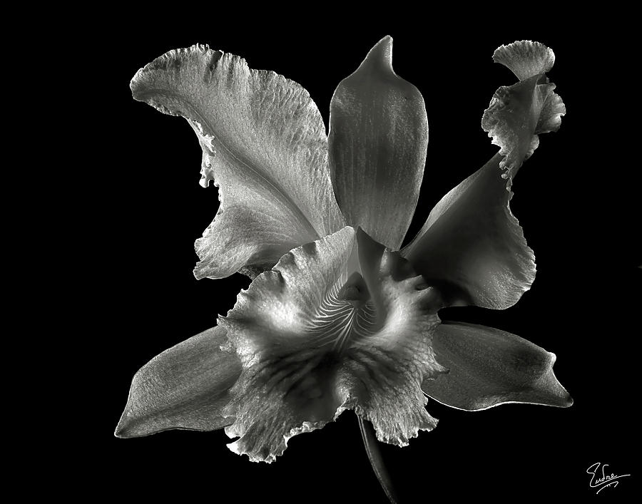 Catalea Orchid In Black And White Photograph