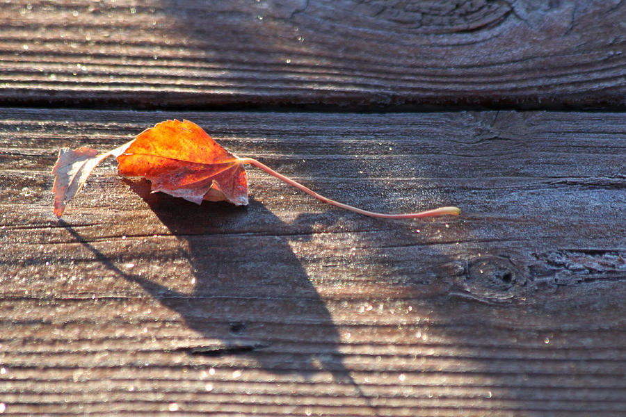 Leaf Photograph - Catching The Light by Lauri Novak