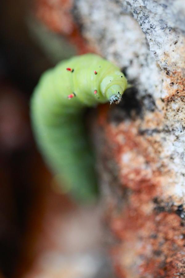 Caterpillar  Photograph
