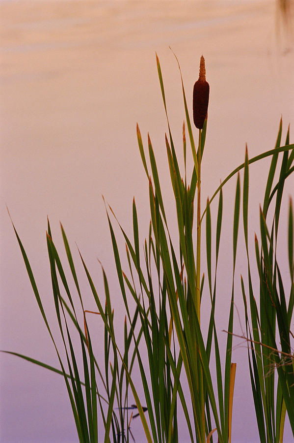 how to draw a pond with cattails