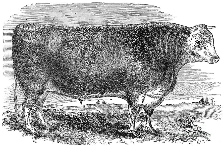 Cattle, C1880 Photograph