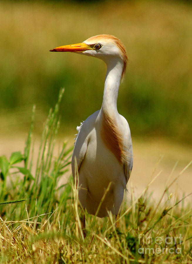 Cattle Egret With Closed Eyelid Photograph  - Cattle Egret With Closed Eyelid Fine Art Print