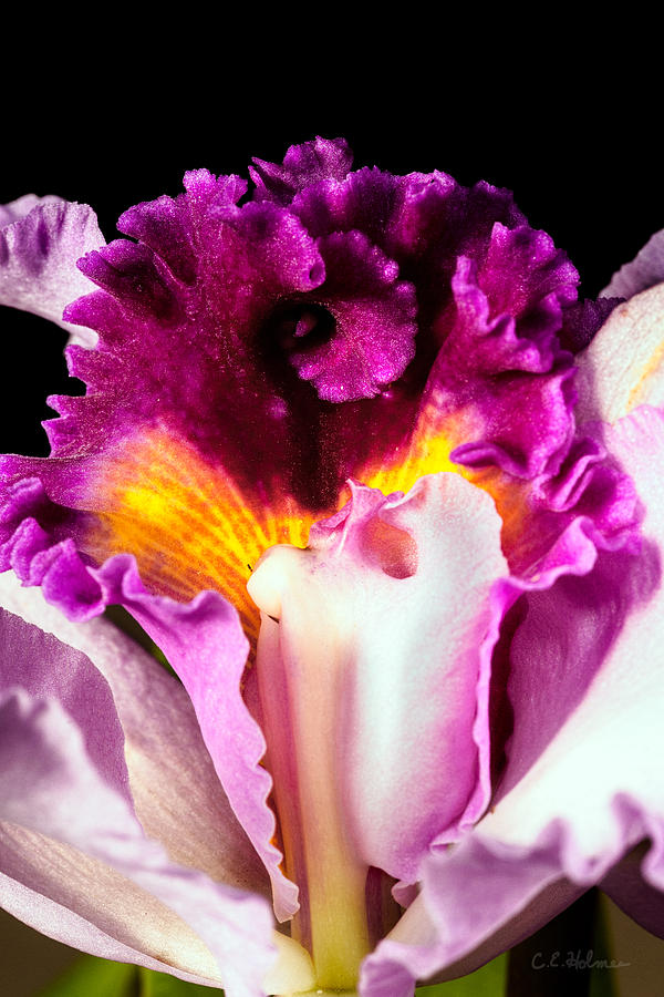 Orchid Photograph - Cattleya II by Christopher Holmes