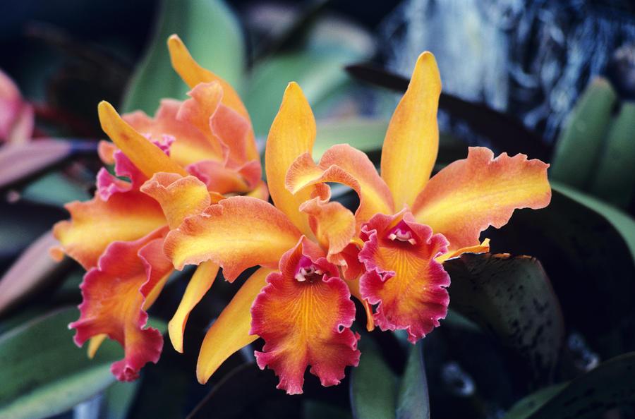 Cattleya Orchids Photograph