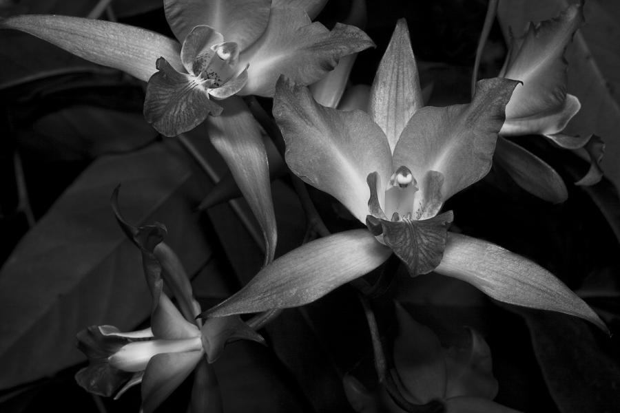 Cattleya Orchids Photograph