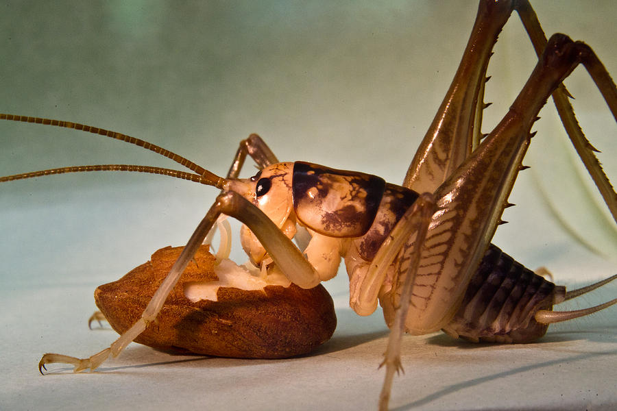 Cave Cricket Feeding On Almond 10 Photograph
