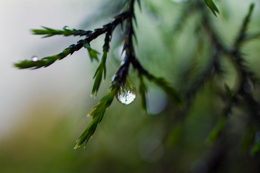 Cedar And Raindrops Photograph  - Cedar And Raindrops Fine Art Print