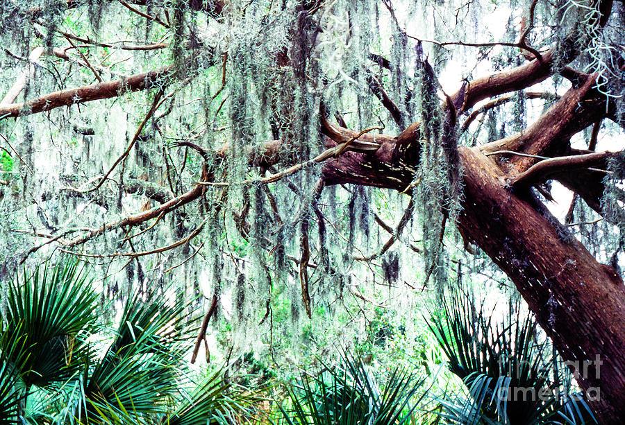 Cedar Draped In Spanish Moss Photograph