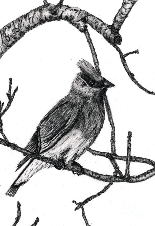 Cedar Waxwing Drawing