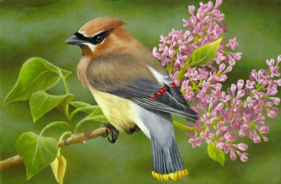 Cedar Waxwing On Lilac Painting  - Cedar Waxwing On Lilac Fine Art Print
