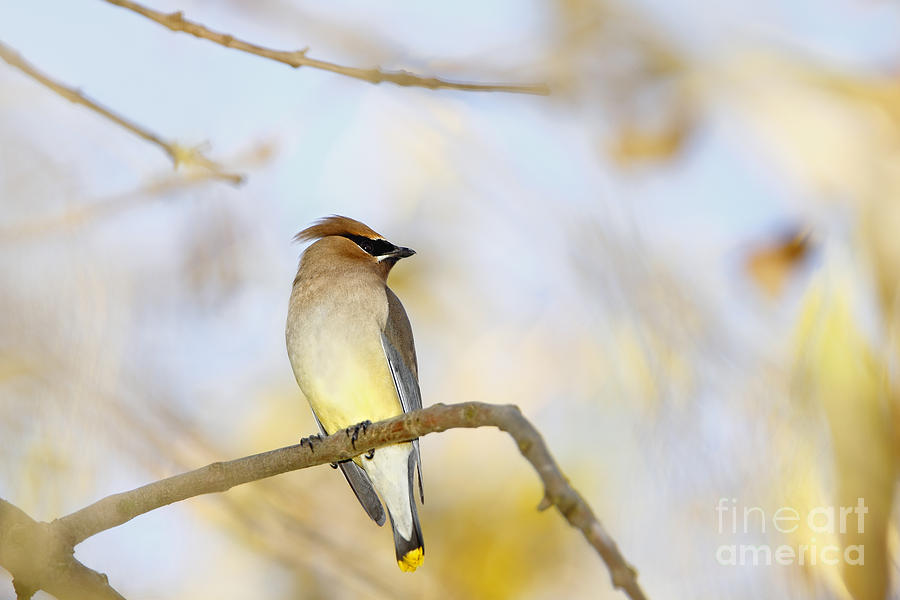 Cedar Waxwing On Yellow And Blue Photograph  - Cedar Waxwing On Yellow And Blue Fine Art Print