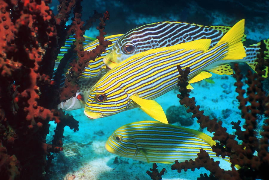 Celebes and lined sweetlips fish photograph by georgette for Sweet lips fish