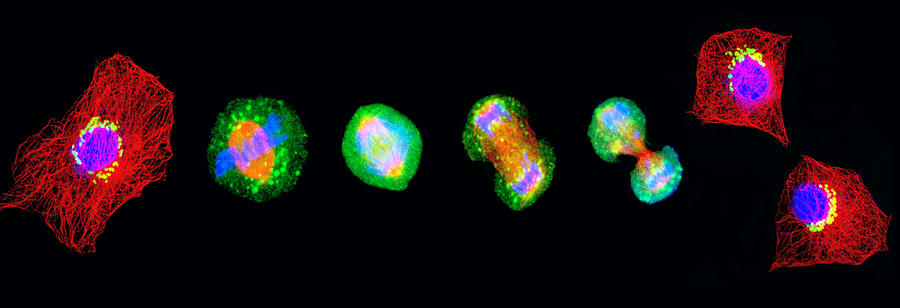 Cell Mitosis Photograph
