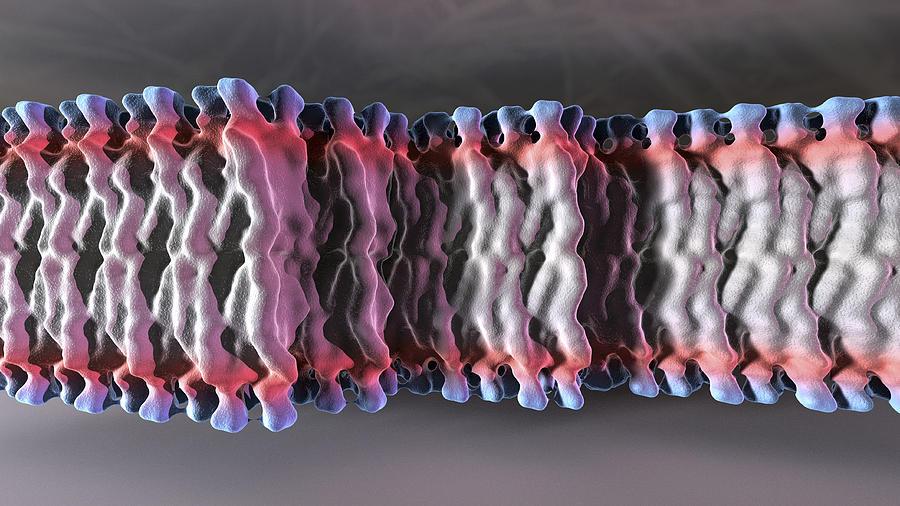 Cell Plasma Membrane Photograph
