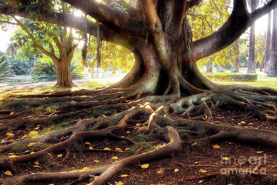 Centenarian Tree Photograph