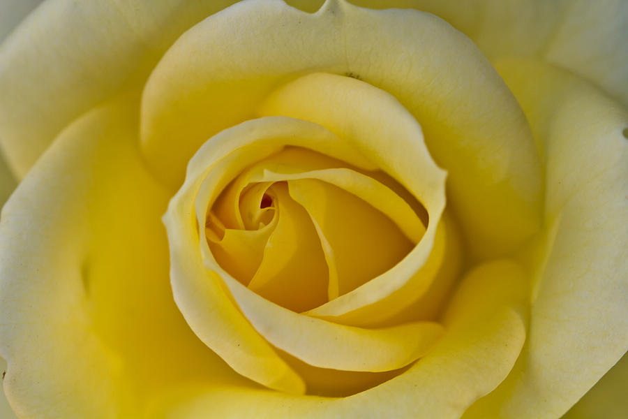 Centered Beautiful Yellow Rose Photograph