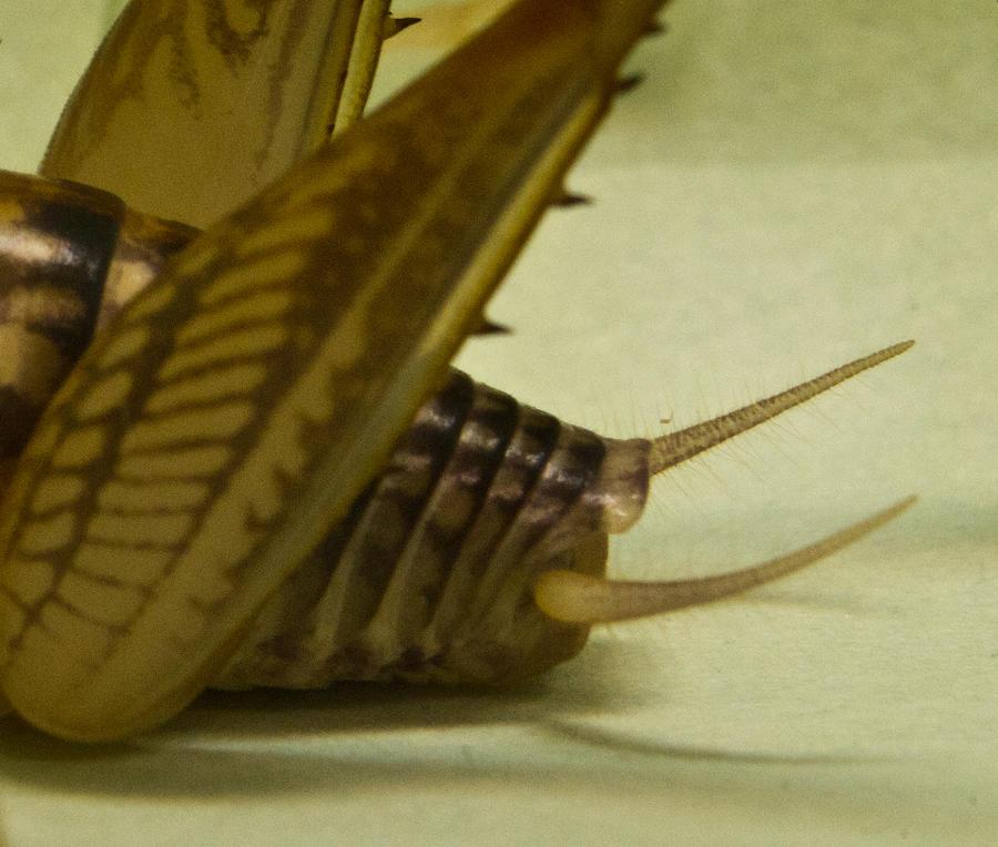 Camelback Cricket