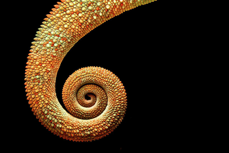 Chameleon Tail Photograph