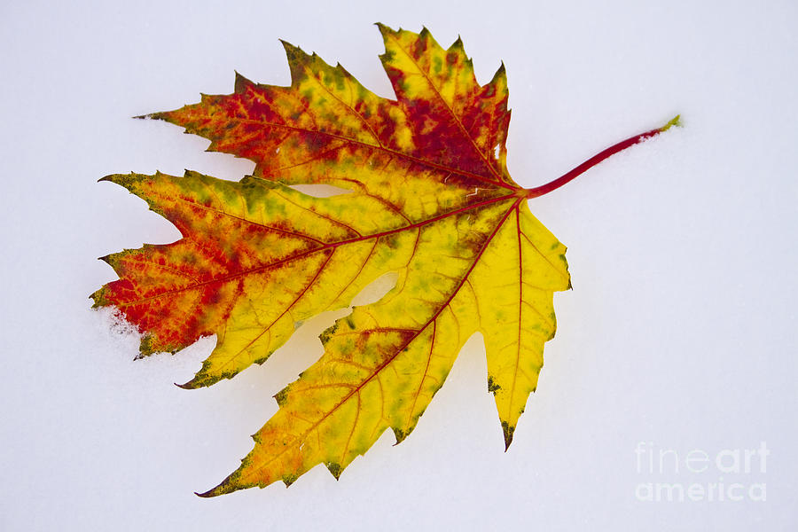Snow Photograph - Changing Autumn Leaf In The Snow by James BO  Insogna