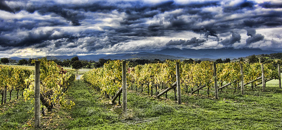 Chardonnay Vines Photograph