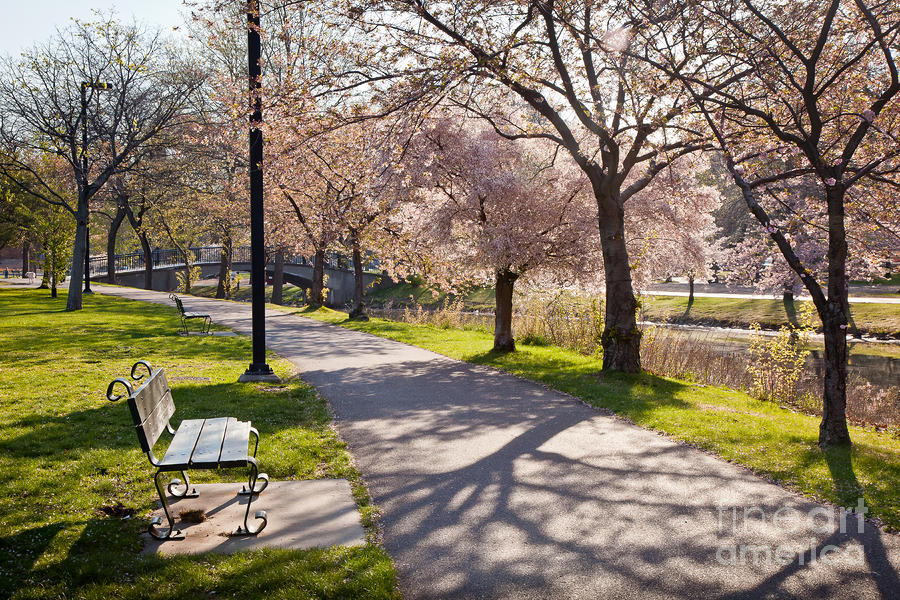 Charles River Cherry Trees Photograph  - Charles River Cherry Trees Fine Art Print